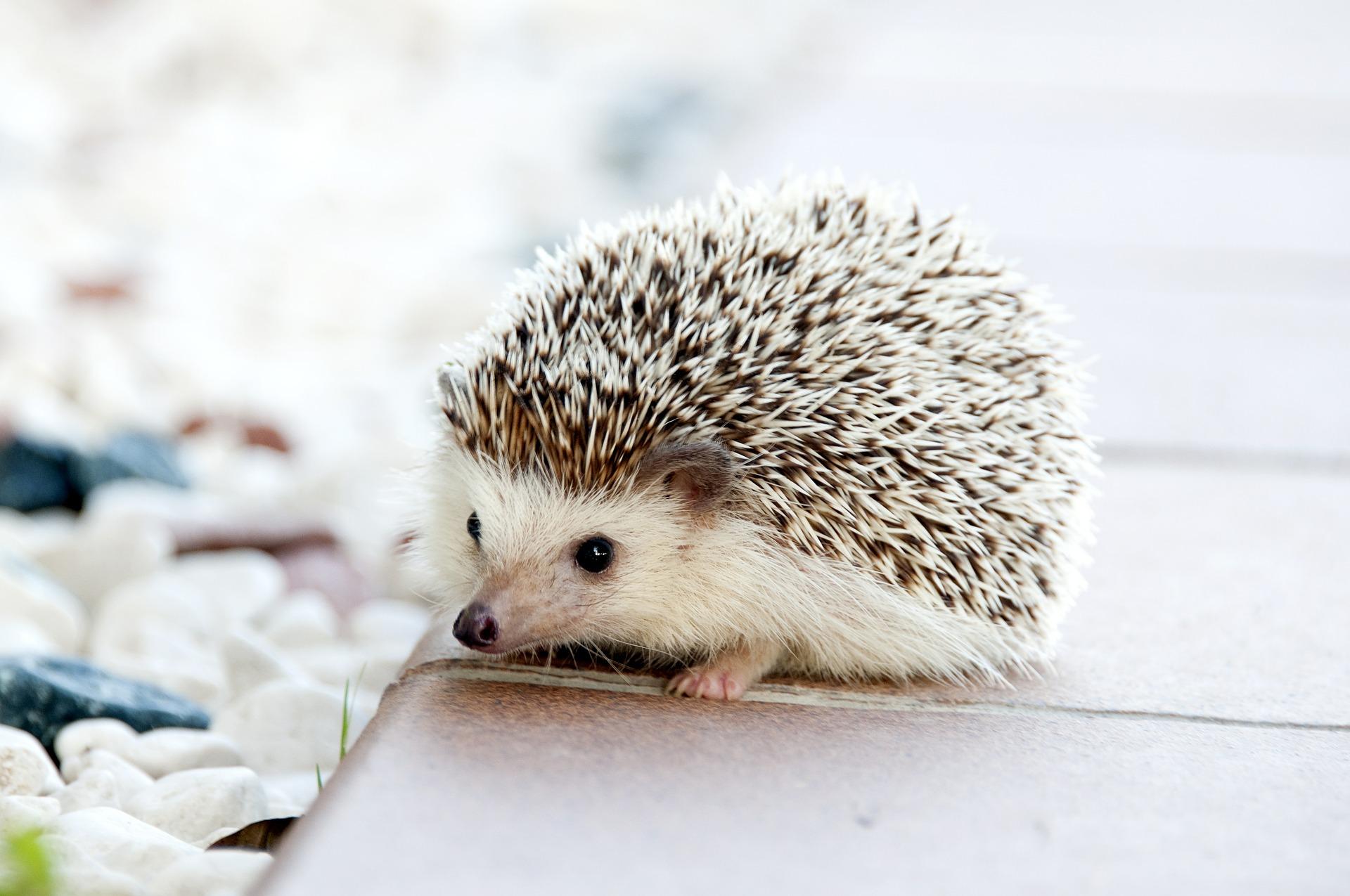 Hedgehog Cafe Tokyo