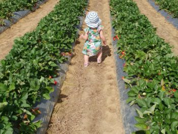 Local Strawberry Picking at Ballantyne's Farm